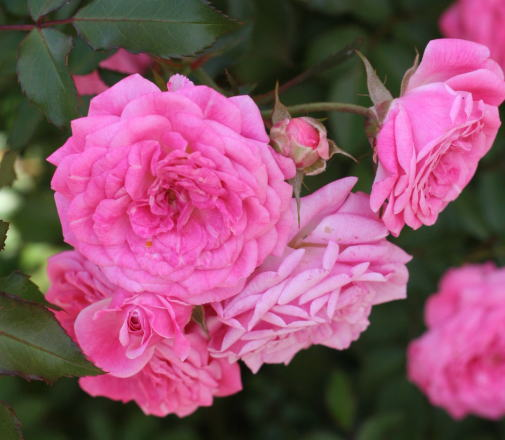 ピンク系バラ スウィートドリフト