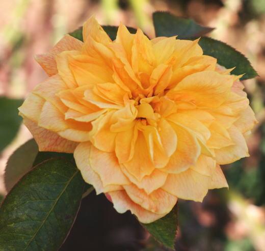 黄色系バラ ジャン ジオノ