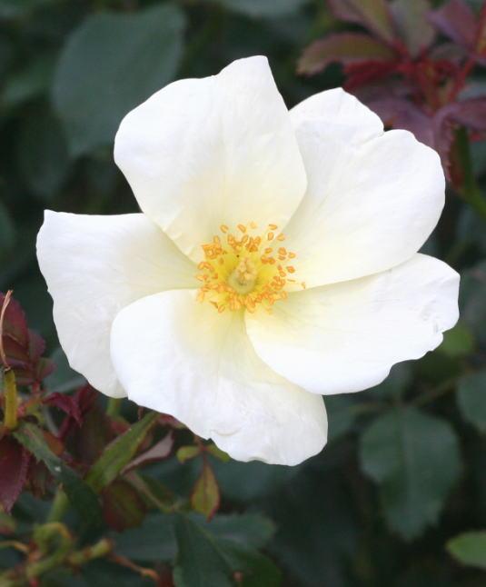 白系バラ ホワイト・ノックアウト