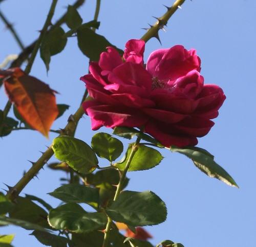 紫のバラ・香りバラ アンダー ザ ローズ