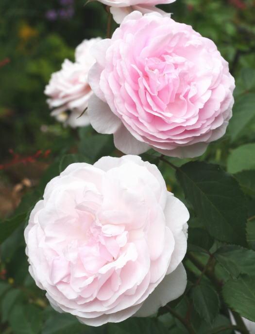 ピンク系バラ オリビア・ローズ・オースチン