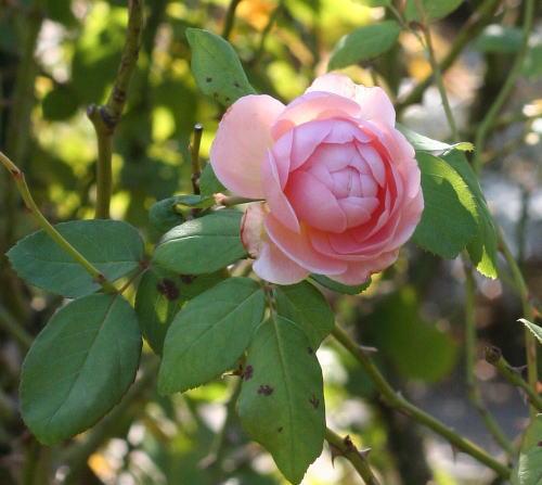香りバラ・ピンク系バラ ソニアリキエル