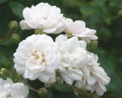 白系バラ クリスタル フェアリー