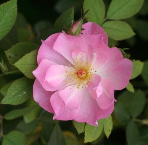 ピンク系バラ ザ・レディーズ・ブラッシュ