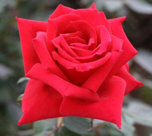赤系バラ アメリカーナ