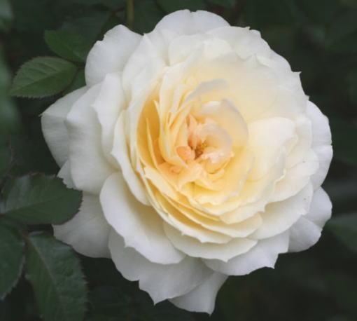 黄色系バラ チャイコフスキー