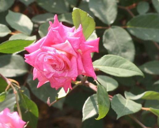 ピンク系バラ マダム バークレー