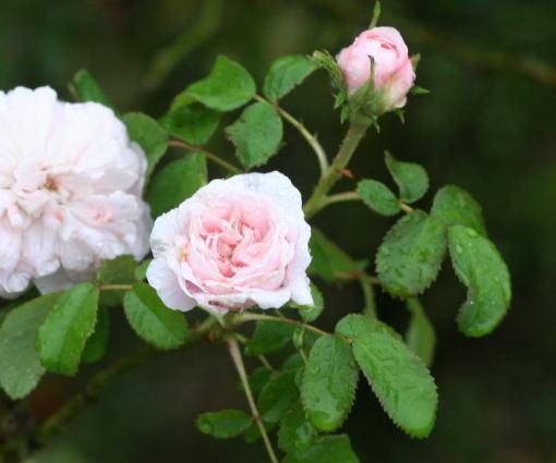 香りバラ・ピンク系バラ ジュリエドクルドネール