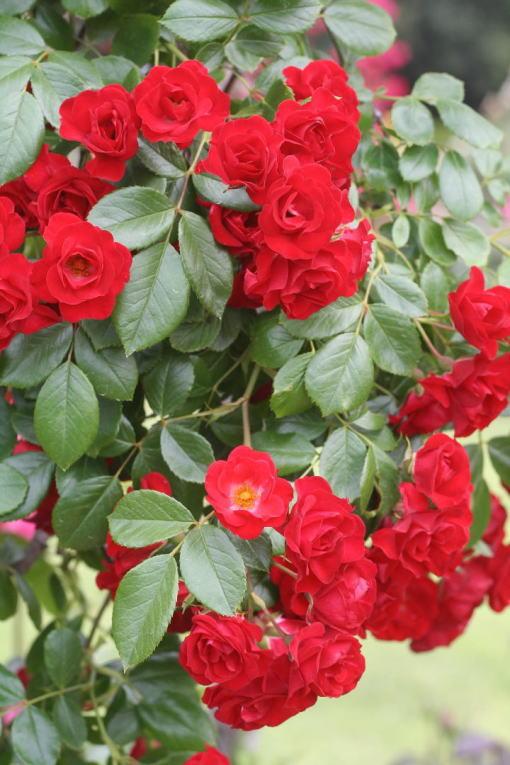 赤系バラ スカーレットメイディランド