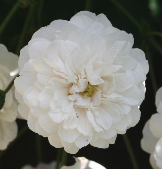 白系バラ リトル ホワイト ペット