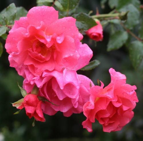 ピンク系バラ ピンクファミー