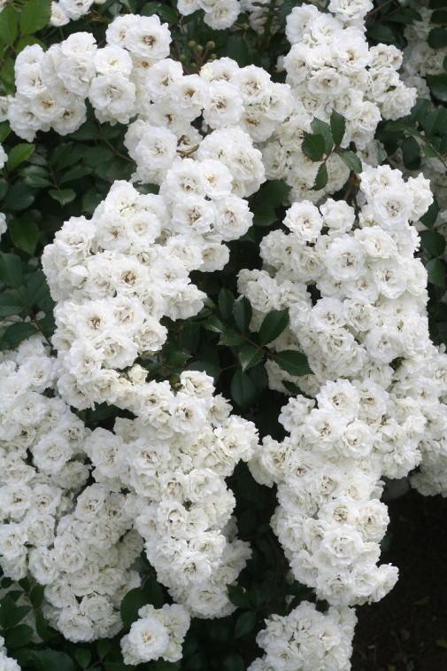 白系バラ アルバ メイディランド