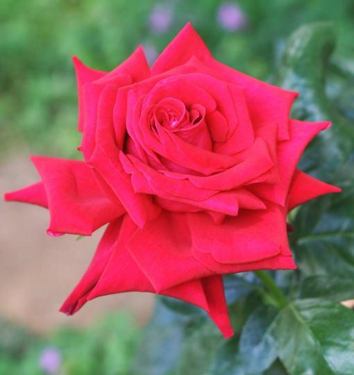 赤系バラ レッド デビル