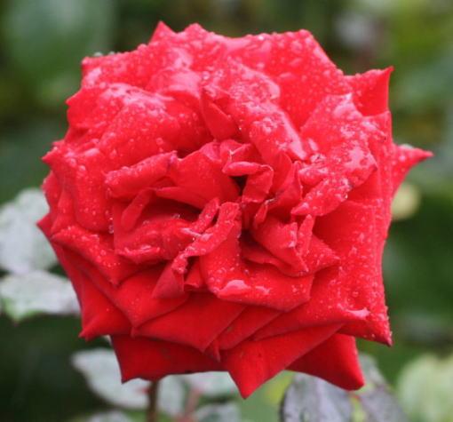 黒バラ・赤系バラ レッドクイーン