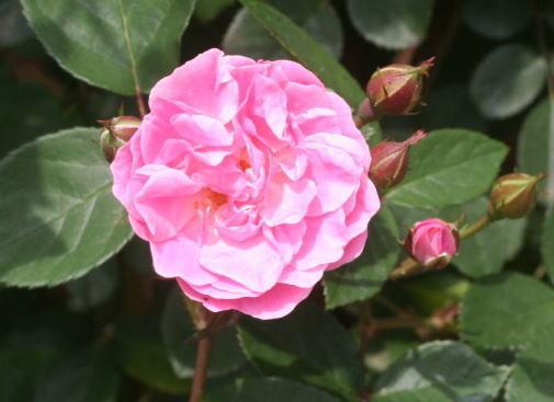 ピンク系バラ モーレイズ ピンク