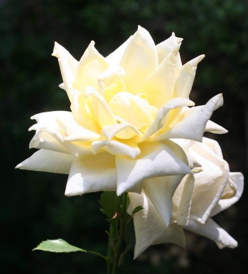 白系バラ 利根姫