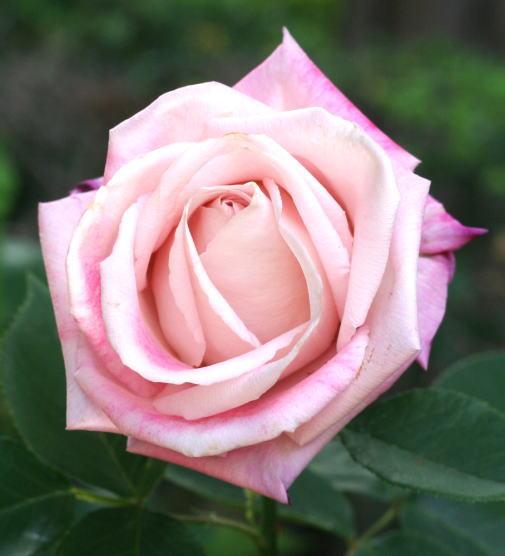ピンク系バラ りな