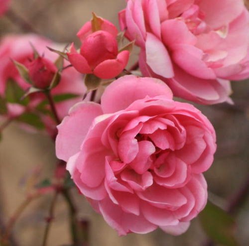 ピンク系バラ ボニカ'82