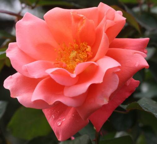 オレンジ系バラ カトリーヌ ドゥヌーブ