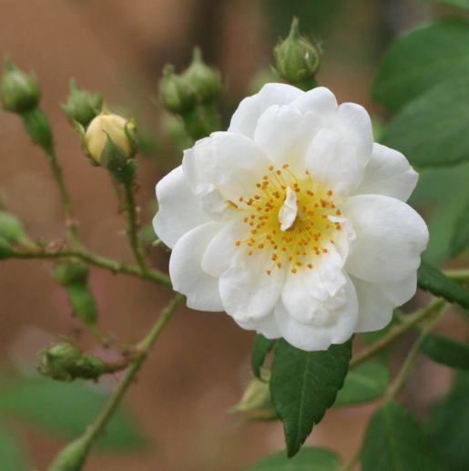 白系バラ シーガル