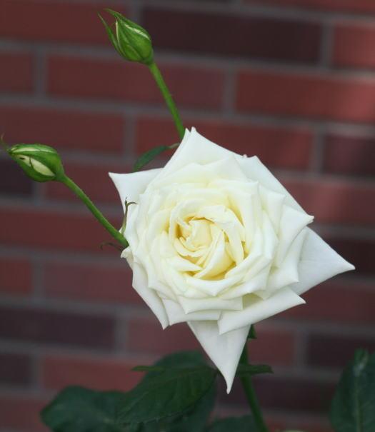 白系バラ ポーラーシュテルン
