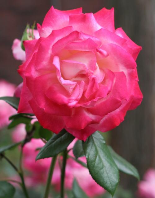 ピンク系バラ 聖火