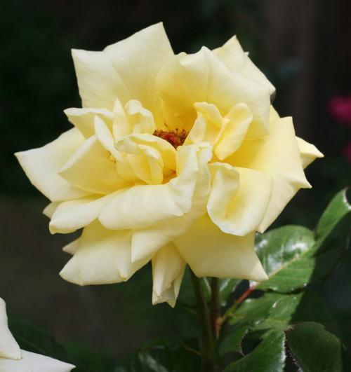 黄色系バラ ソリドール