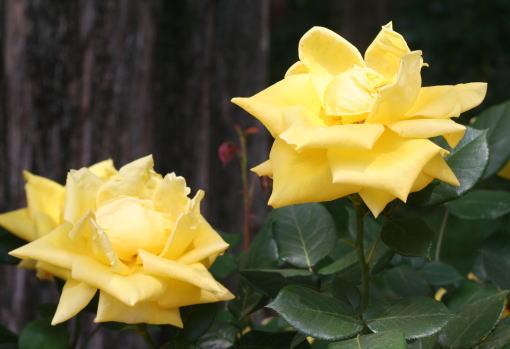 黄色系バラ ヘルムット シュミット