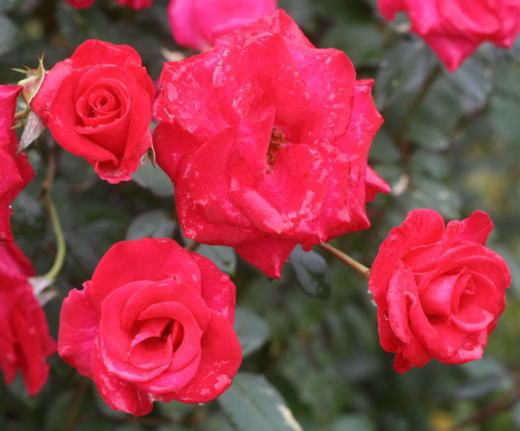 赤系バラ 紅