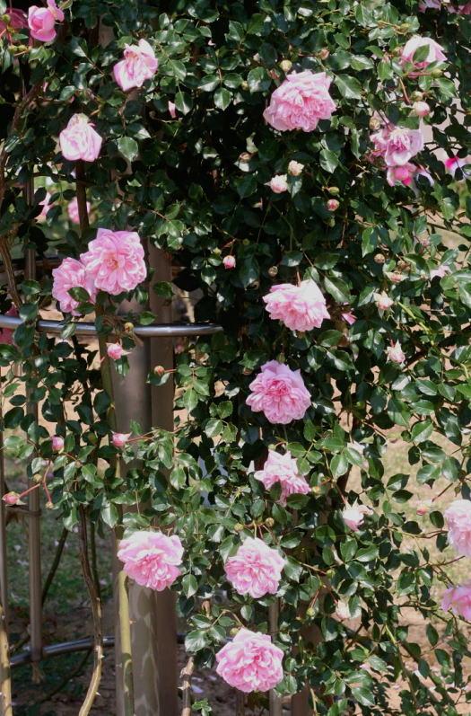 ピンク系バラ フランソワー ジュランビル