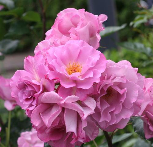 紫のバラ レスポワール