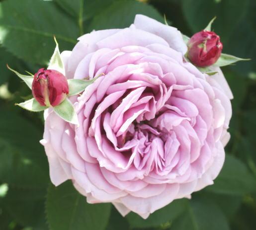 紫のバラ・香りバラ ベラ ドンナ