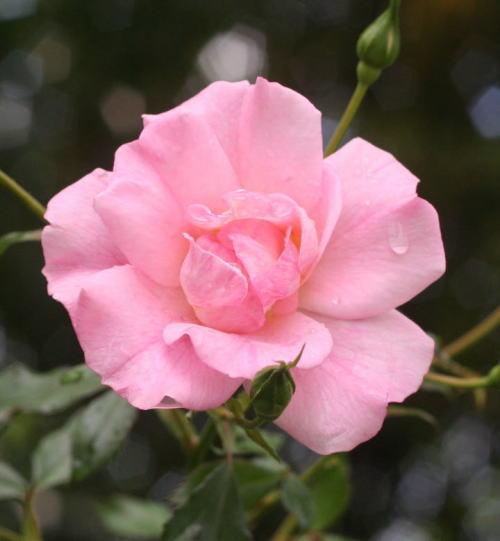 ピンク系バラ ピンク シャンパーン