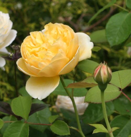 黄色系バラ シャーロット・オースチン