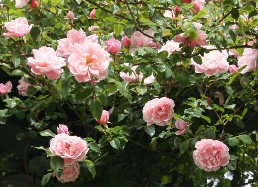 ピンク系バラ アルベルティーヌ