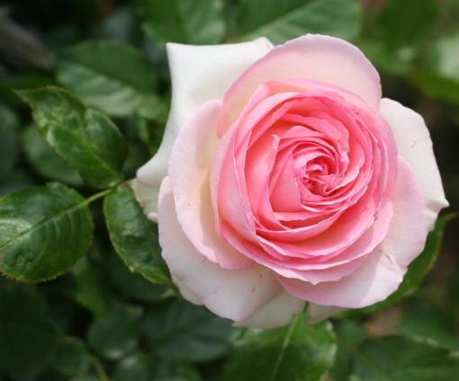 ピンク系バラ ピエール ドゥ ロンサール