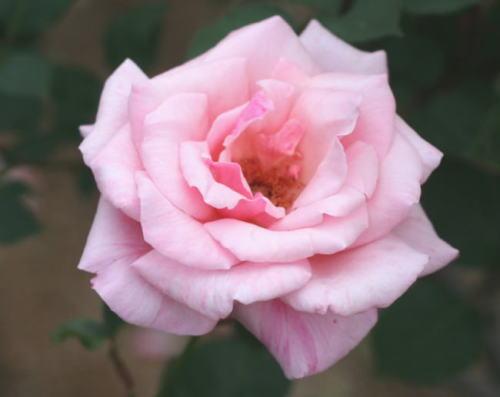 ピンク系バラ コロンブス・クイーン