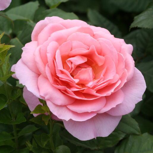 香りバラ・ピンク系バラ フランシスブレイズ