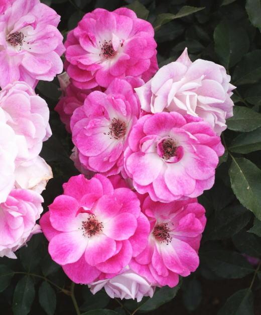 ピンク系バラ ブリリアントピンク アイスバーグ