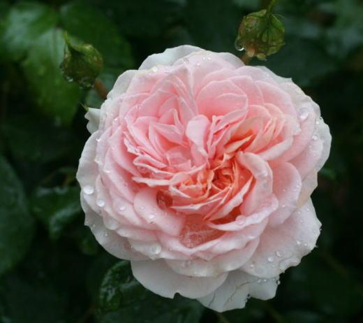 ピンク系バラ ガーデンオブローゼズ