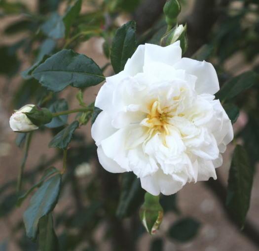 白系バラ アルベリック・バルビエ