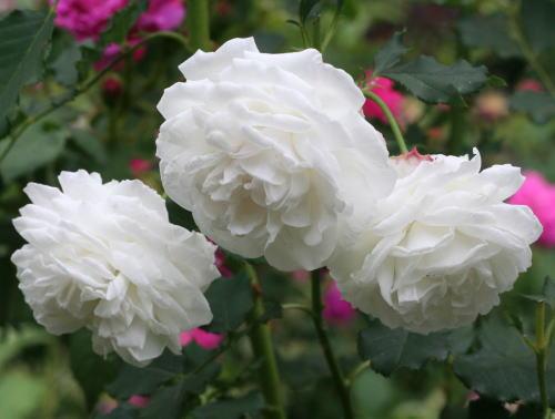 白系バラ ブール ド ネージュ