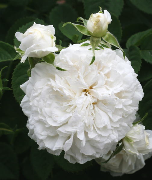 香りバラ・白系バラ マダム ルグラ ド サンジェルマン