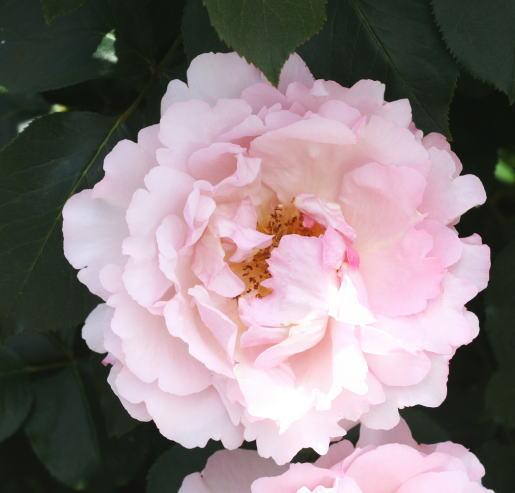香りバラ・ピンク系バラ フレグランス オブ フレグランシズ