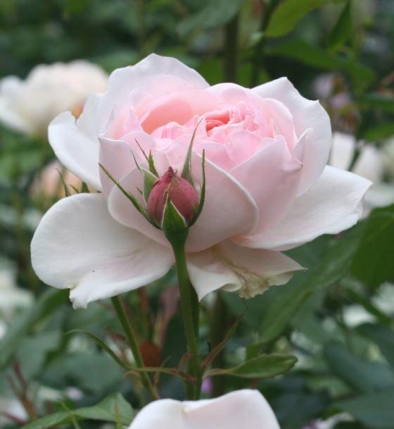 香りバラ・ピンク系バラ マダム・フィガロ