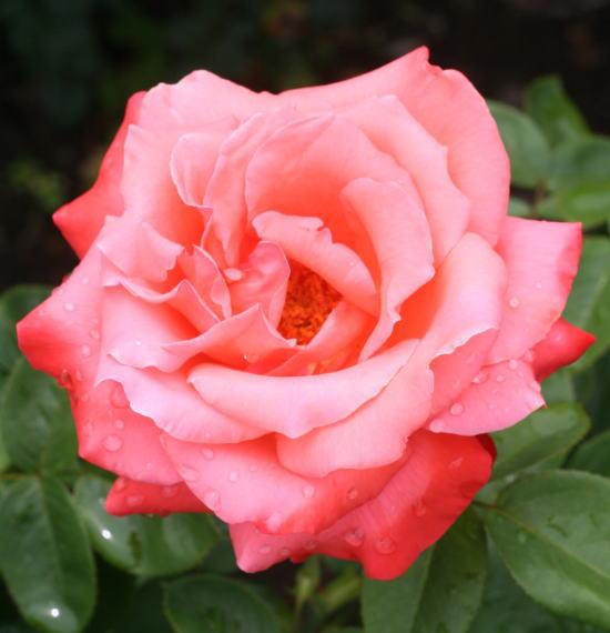 赤系バラ 讃歌