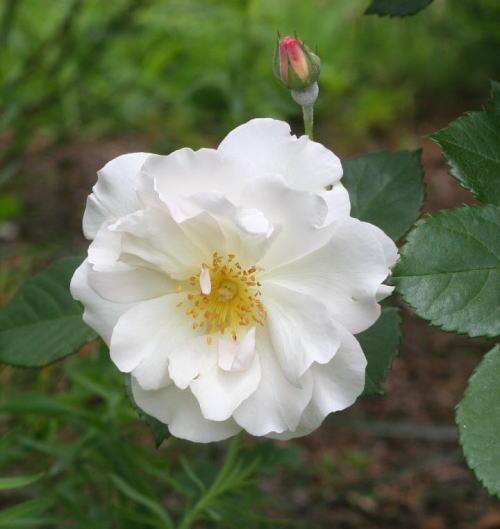 白系バラ ペネロペ