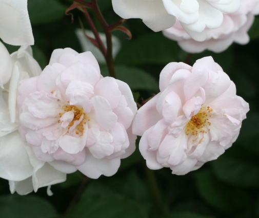 香りバラ・ピンク系バラ マリー パヴィエ