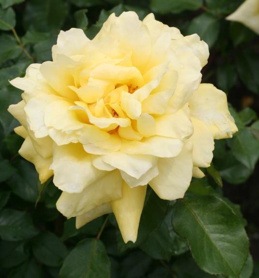 黄色系バラ 秋月