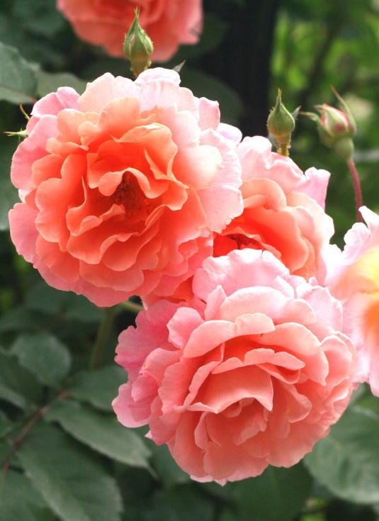香りバラ・オレンジ系バラ サンセット グロウ